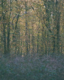 Helen Arenz - Forestscapes Purple_