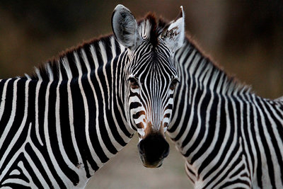 Jeroen Swolfs - One Zebras